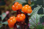 stock photo of swamps  - Ripe berries cloudberry is growing in the swamp - JPG