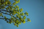 foto of pecan tree  - lush branch against bright blue summer sky - JPG