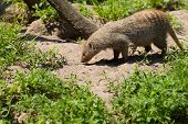 Banded Mongoose Foraging
