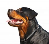 picture of dog teeth  - Portrait of a Happy Rottweiler isolated with clipping path