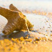Sea Starlet Fallen Morning Star