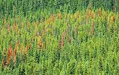 Pine Beetle damaged forest