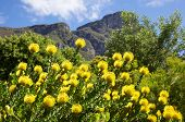 Yellow Pincushion Flowers