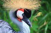 African Crowned Crane crested