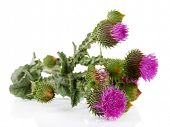 stock photo of scottish thistle  - Thistle flowers isolated on white - JPG
