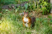 Watchful Red Squirrel Looking At You