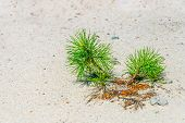 Pine Sprouting From A Sand