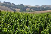Northern California Vinyard