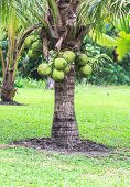 Coconut Tree, Dwarf Variety In Plantation