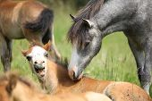 picture of fillies  - Young welsh mountain pony meeting scared foal on pasturage - JPG