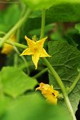 pic of tendril  - small cucumber with flower and tendrils  - JPG