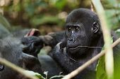 picture of lowlands  - Portrait of a western lowland gorilla  - JPG