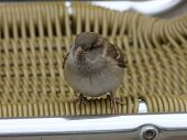 Juvenile Female House Sparrow