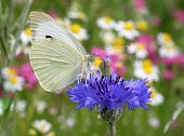 White Butterfly On Cornflower