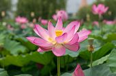 Lotus flower pond