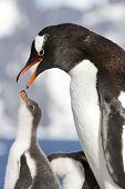 Female Gentoo Penguins With Open Beak And Chicks During Feeding