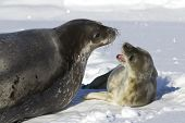 Female Weddell Seal And Her Pup That Growls