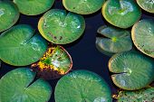 Lotus Leave In Pool .