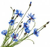 Branch of the blue cornflower flower isolated on white background