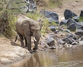 foto of terrestrial animal  - African elephant female drinking water of Mara river Masai Mara National Reserve Kenya - JPG