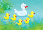 foto of duck pond  - White duck swimming with her small yellow ducklings in a pond - JPG