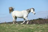 White Warmblood Running On Pasturage
