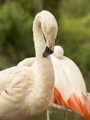 Flamingo Preening