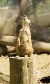 Meerkat Looking Up
