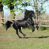Friesian Stallion Running