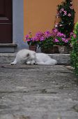 White Swiss Shepherd in front of the house