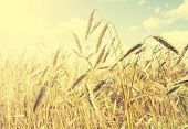 Vintage Natural Background, Golden Wheat Field.