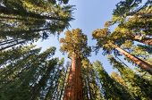 stock photo of enormous  - General Sherman - the largest tree on Earth Sequoia National Park California.