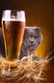 pic of scottish-fold  - Scottish fold cat checking out a glass of light beer
