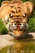 Tiger Drinks Water