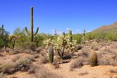picture of ocotillo  - Saguaro cacti in the Arizona desert near Phoenix - JPG