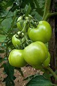 image of edible  - Tomato is the edible - JPG
