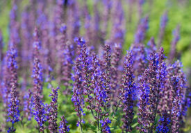 stock photo of clary  - Colorful flowering Salvia nemorosa or Balkan clary on a sunny day in the beginning of the summer season - JPG