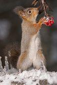 Squirrels Winter Berries