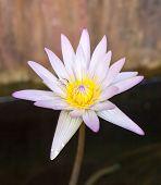 Single Beautiful Pink Lotus Flower