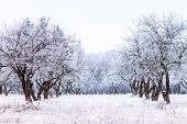 Frosty Apple Tree Garden In Winter Morning