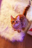 Red cat at home in Christmas time