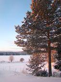 pine in the last rays sun