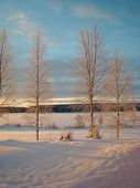 number of birches