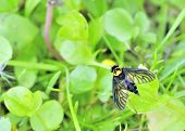 pic of snipe  - A golden backed snipe fly perched on a leaf - JPG