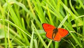 Butterfly Large Copper (lycaena Dispar)  On Green Grass