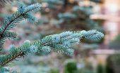 Blue Fir Branches In Garden