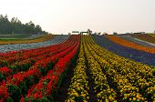stock photo of mile  - Field of flowers stretching for miles - JPG