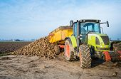 stock photo of dumper  - A yellow dumper pulled by a tractor dumps sugar beets on a heap beside the field awaiting transport to the sugar factory - JPG
