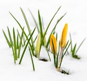 Yellow crocus flowers growing in snow during spring