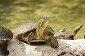 stock photo of cooter  - wild turtle in everglades florida national park - JPG